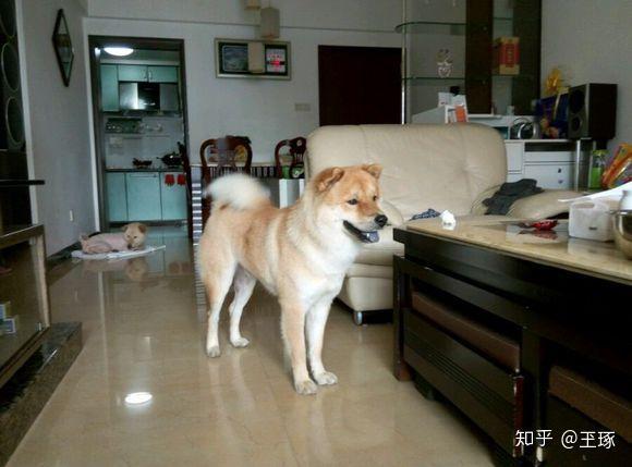 沙皮狗和斗牛犬_本犬纲目(中国本土狗品种大全) - 知乎