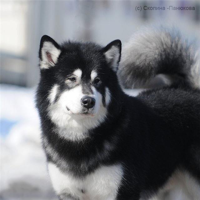 短毛阿拉斯加雪橇犬_阿拉斯加和哈士奇有什么区别? - 知乎