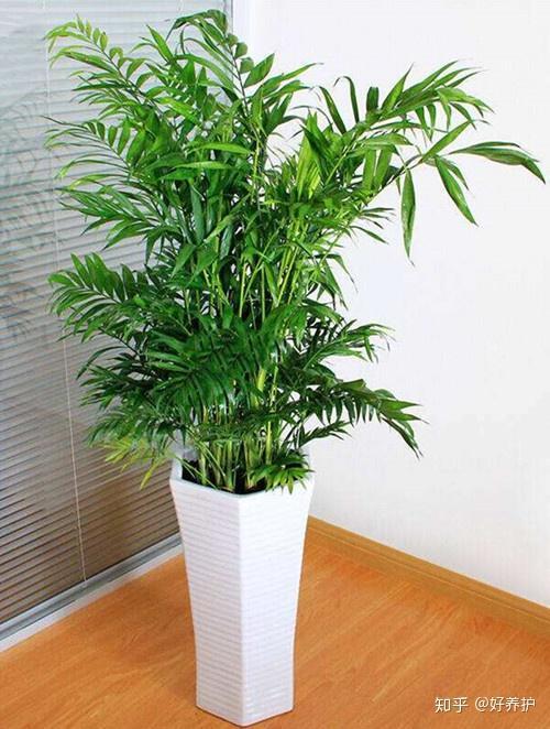 袖珍椰子图片_散尾葵、夏威夷椰子、袖珍椰子和富贵椰子分不清?只需3步 ...