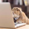 安哥拉掉毛兔