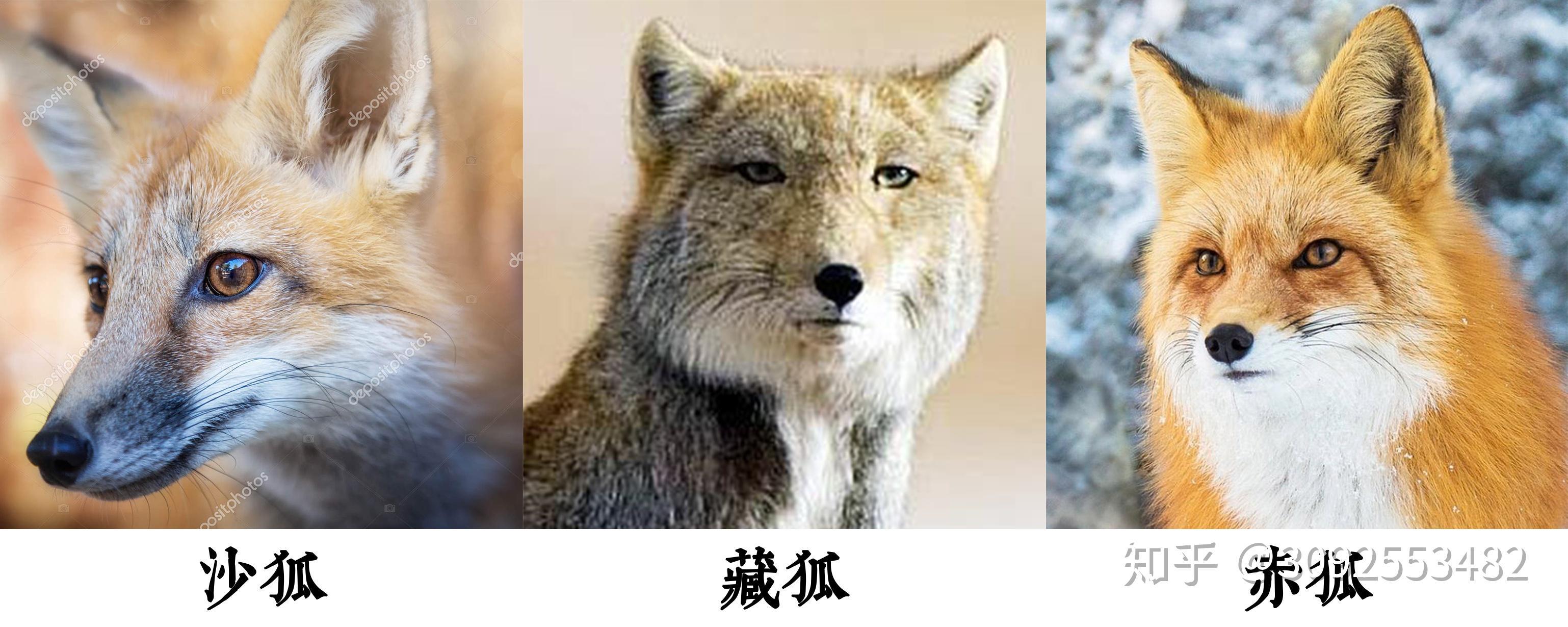 狐文化特辑【一】古代中国幻想世界中的「狐」插图(1)