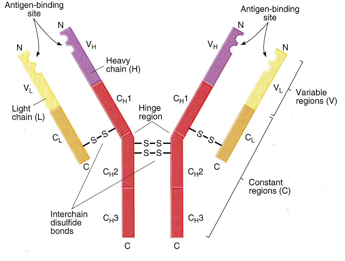 抗原抗体特异性结合_抗体结构 - 知乎