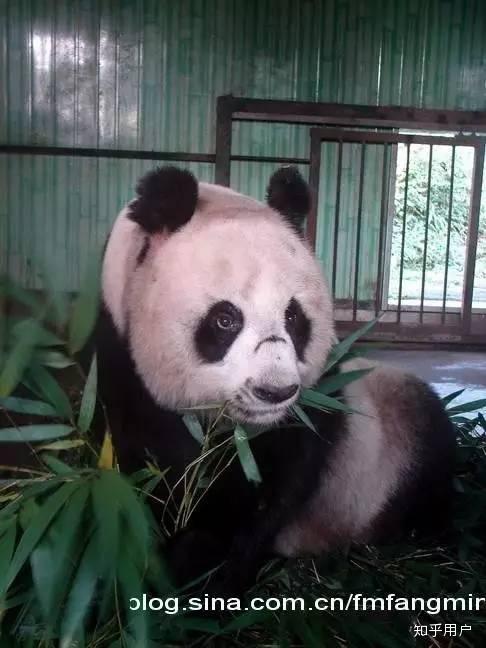 大熊猫越狱_大熊猫的智商有多高? - 知乎