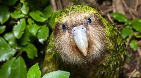 这种拉低鹦鹉平均智商的鸟,难道真的会被自己笨到灭绝吗?